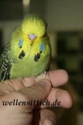 Gambar Burung Parkit 14