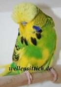 Gambar Burung Parkit 18
