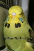 Gambar Burung Parkit 19