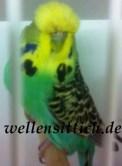 Gambar Burung Parkit 7