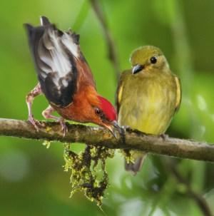 Burung manakin jantan berkicau dengan menggetarkan sayap (2)