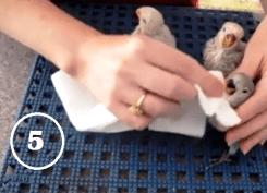 8-Bersihkan paruh dan semua bagian tubuh burung yang terkena cipratan makanan - 2