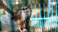 Burung ciblek gunung Imoet CPT-9