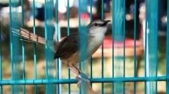 Burung ciblek gunung Imoet CPT