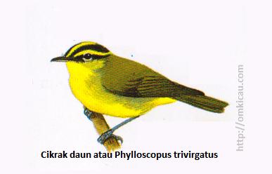 Cikrak daun atau Phylloscopus trivirgatus - Mahkota dan setrip alis sangat mencolok, tidak ada garis pada sayap