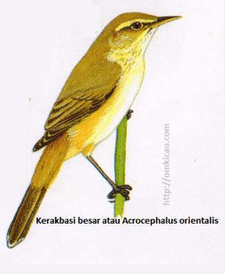 Kerakbasi besar atau Acrocephalus orientalis - Alis lebih lebar dan panjang serta paruh lebih besar daripada Kerakbasi ramai, dada atas bercoret Samar, ujung bulu ekor pucat. Mulut kemerahjambuan.