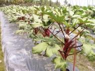 Okra baik tumbuh di daerah tropis dan subtropis