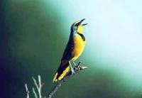 suara terapi burung