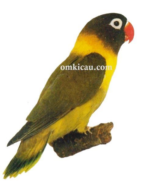 galeri 45 gambar lovebird perbedaan antara lutino a