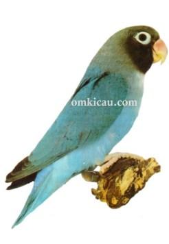 40 agapornis nigrigenis lovebird-blue-biru