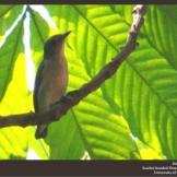 Burung cabean atau cabai jawa - dicaeum trochileum - betina foto Damar Adhi Perdana