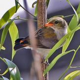 Burung cabean atau cabai jawa - dicaeum trochileum - betina remaja foto Hasman Budiono