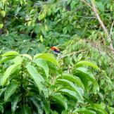 Burung cabean atau cabai jawa - dicaeum trochileum - jantan foto Bagus Dona Doni