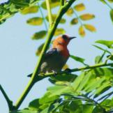 Burung cabean atau cabai jawa - dicaeum trochileum - jantan foto Bagus Dona Doni2