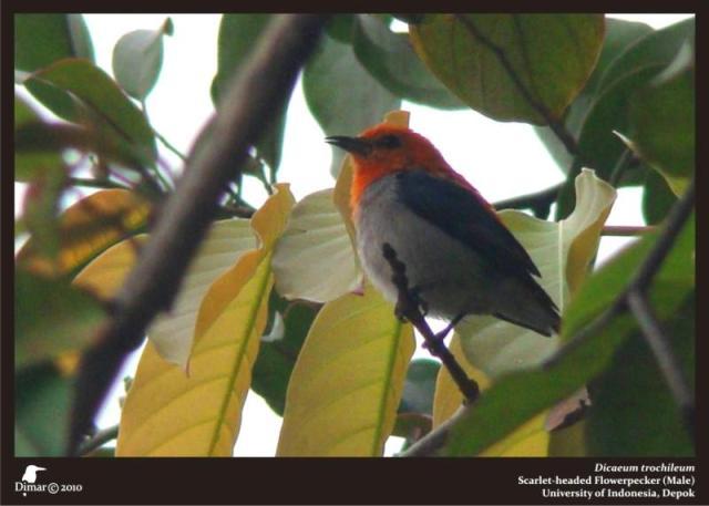 galeri foto dan suara burung kemladean cabean atau cabai