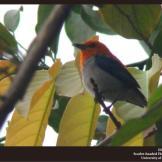 Burung cabean atau cabai jawa - dicaeum trochileum - jantan foto Damar Adhi Perdana