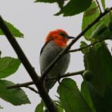Burung cabean atau cabai jawa - dicaeum trochileum - jantan foto Dedy Istanto