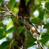Burung cabean atau cabai jawa - dicaeum trochileum - remaja foto Adhy Maruly