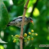 Burung cabean atau cabai jawa - dicaeum trochileum - remaja foto Adhy Maruly2