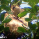 Burung cabean atau cabai jawa - dicaeum trochileum - sarang burung foto Baskoro