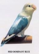 burung lovebird pied dominant blue