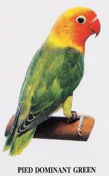burung lovebird pied dominant green
