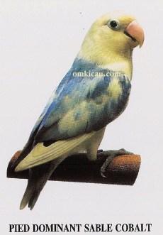 burung lovebird pied dominant sable cobalt