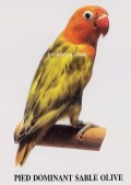 burung lovebird pied dominant sable olive