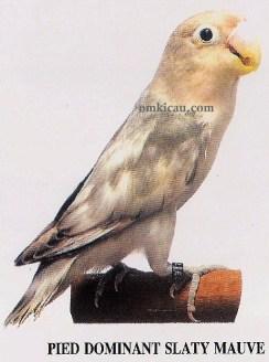burung lovebird pied dominant slaty mauve