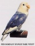 burung lovebird pied dominant spangle dark violet