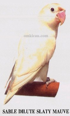 burung lovebird sable dilute slaty mauve