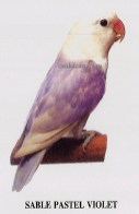 burung lovebird sable pastel violet