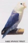 burung lovebird sable spangle violet