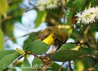 Burung sogok ontong alias burung madu sriganti (10)