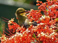 Burung sogok ontong alias burung madu sriganti (6)