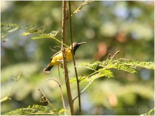 Burung sogok ontong alias burung madu sriganti (8)