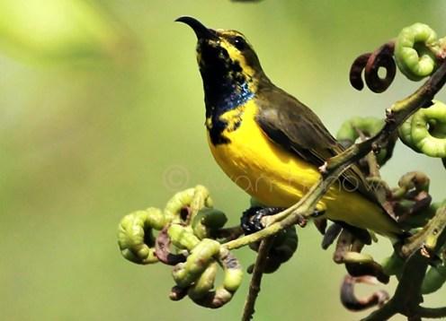 Burung sogok ontong alias burung madu sriganti (9)