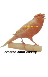 Burung kenari crested color