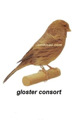 Burung kenari gloster consort