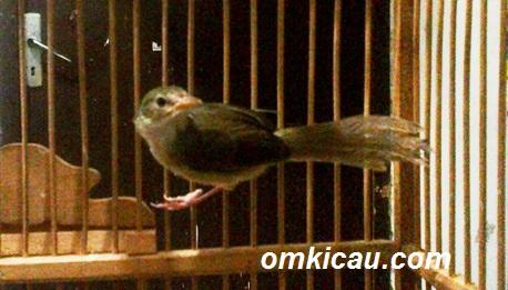 Download suara burung ciblek: 9 variasi