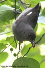 burung murai besi - murai air - air mancur - Long tailed Sibia - Heterophasia picaoides (10)