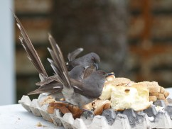burung murai besi - murai air - air mancur - Long tailed Sibia - Heterophasia picaoides (13)