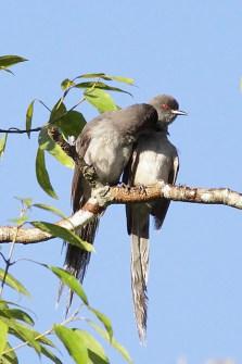 burung murai besi - murai air - air mancur - Long tailed Sibia - Heterophasia picaoides (7)