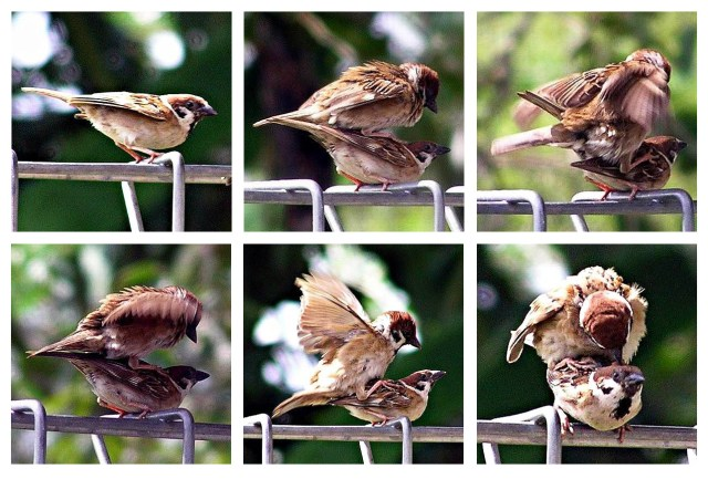 burung-gereja-kawin