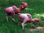 Dua ayam tanpa bulu di Hebrew University di Rehovot, Israel