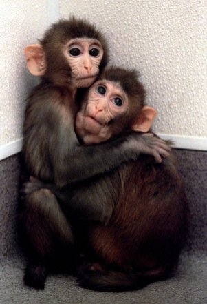 Bayi kembar monyet dari embrio hasil kloning memegang satu sama lain di Oregon Regional Primate Research Center di Beaverton, Oregon, 4 Maret.
