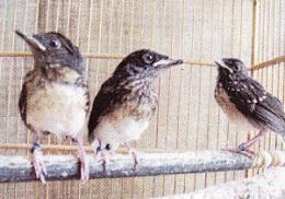 pernak-pernik penangkaran burung murai batu