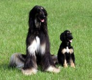 Snuppy - kanan - dan anjing yang dikloning