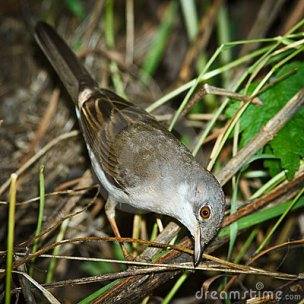Whitethroat - jantan