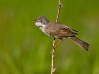 Whitethroat - jantan4